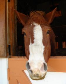 Frank is a Belgium - Draft Horse cross.  Big feet, kind heart.  Children of all ages love Mr. Frank!